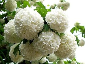 snow ball flowers . (4)
