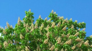 stock-footage-blossoming-chestnut-tree